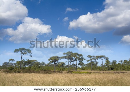 Dry grasses field in pine forest and sky background