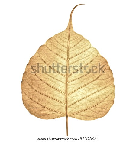 Dry leaf isolated on white background .