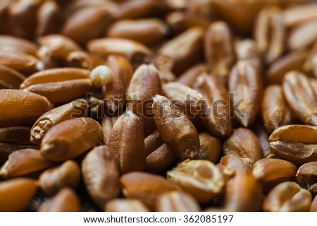 Dry wheat grains close up on blurred background