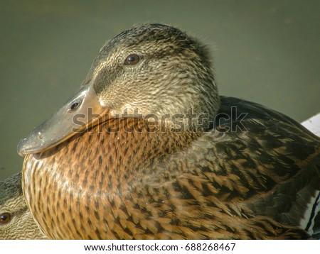 Ducks Male Eagle River Nature Center