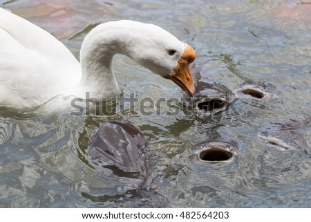 Duck and fish are swimming