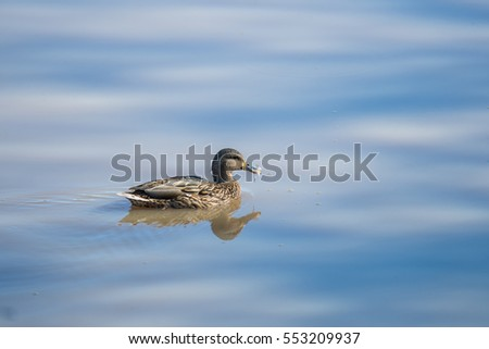 Duck swims in the lake with calm and beautiful waters background