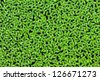 Duckweed covered on the water surface - stock photo