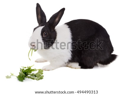 Dutch dwarf rabbit eating cilantro. Isolated on white background