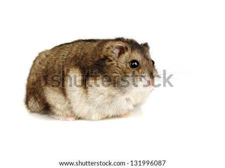 dwarf hamster on white...