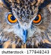 Eagle Owl (Eurasian eagle owl) Bubo bubo - stock photo