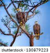 eagle pair in Florida - stock photo