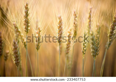 Ears of wheat field
