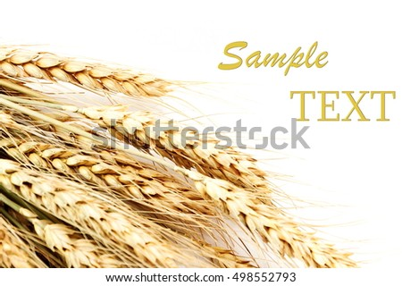 Ears of wheat on a white background with copy space.