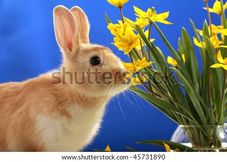 Easter bunny and yellow tulips, on blue background