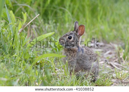 Eastern Cottontail Rabbit (Sylvilagus floridanus) in grass