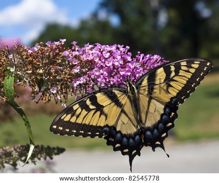 Eastern Tiger Swallowtail (Papilio glaucus) in flower garden in Central Park, New York City
