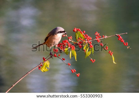 Eat berries of laniusschach bird
