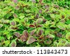 edible amaranth grow in field - stock photo