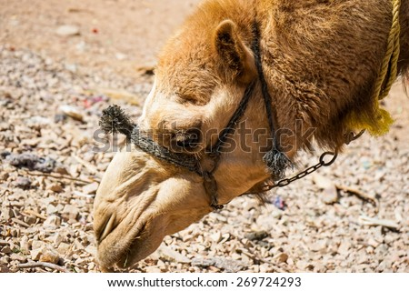 Egyptian dromedary.Head of the camel. Egypt.