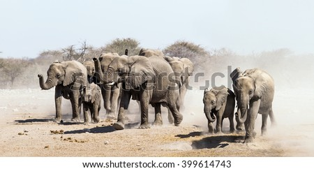 Elephant herd on the run in Etosha national park savannah, Namibia.