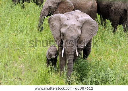 Elephant herd with young elephant calf, mother assisting young