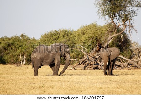 Elephant in Chobe National Park, Botswana, Africa