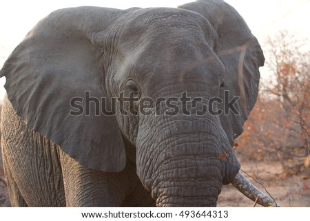 Elephant in Great Kruger