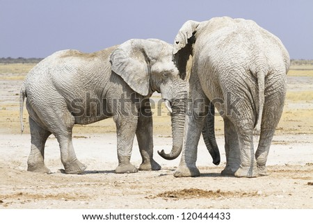 Elephant loxodonta africana in Ethosa National Park