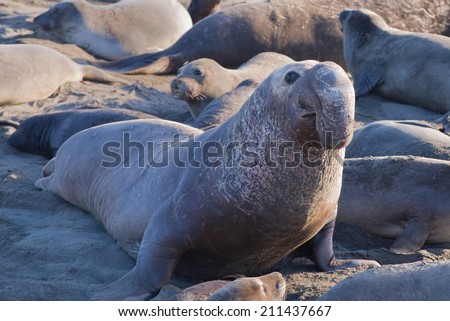 Elephant Seal Bull (Mirounga) Looking Up, Big Sur Beach, California, USA