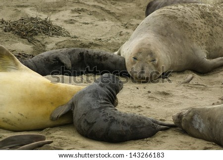 Elephant Seals at Big Sur, California