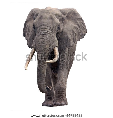 Elephant walking front view