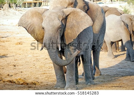 Elephants around a watering hole at a lodge in Botswana, in the dry season