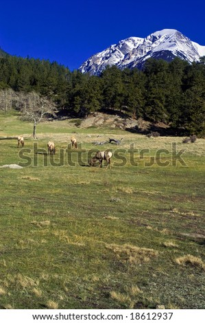 Elk captured in Rocky Mountain National Park in Colorado