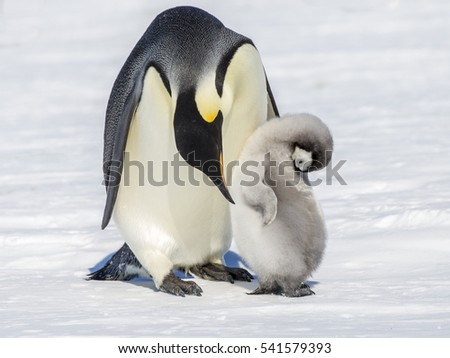 Emperor Penguin adult giving some preening attention to a chick