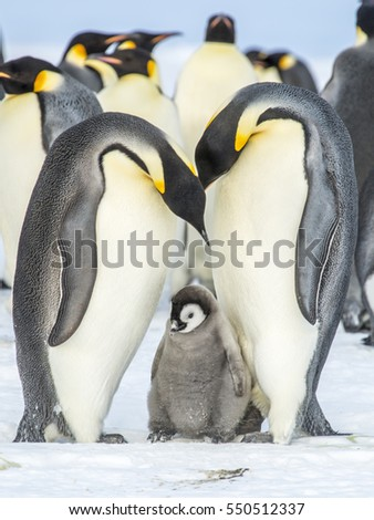 Emperor Penguin chick with parents
