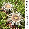 Endangered and rare plant - Stemless carline Thistle flower (Carlina acaulis) - stock photo