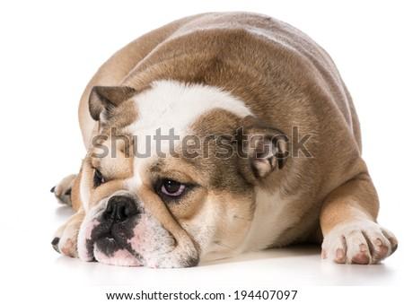 Bulldog Wearing Joke Glasses