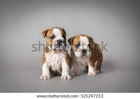 English bulldog puppies on grey background