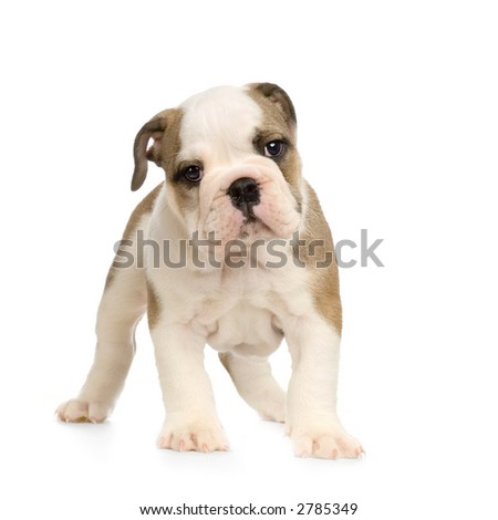 english Bulldog puppy in front of white background and looking at the camera