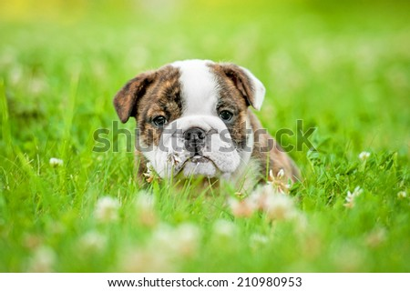 English bulldog puppy sitting in the grass