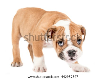 English bulldog puppy standing on white background,selective focus