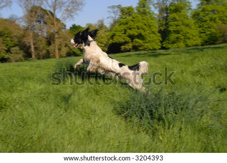 English Springer Spaniel flying through the air in long grass.