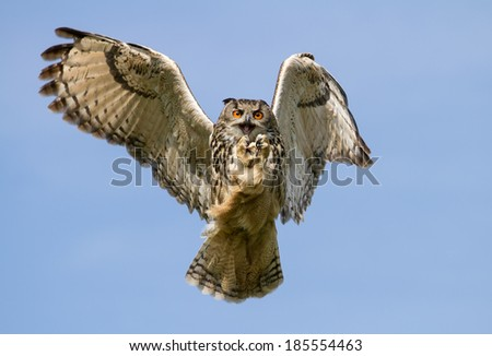 Eurasian Eagle-Owl (Bubo bubo) in flight with a catch, UK