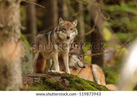 Eurasian wolf is observing around himself from forest
