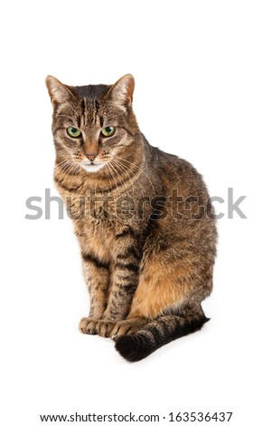 European cat in front of a white background