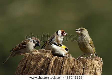 European Greenfinch (Carduelis chloris) with European Goldfinch and Sparrow