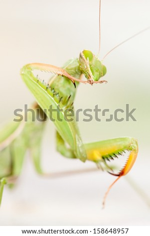 European mantis or Praying mantis (Mantis religiosa)