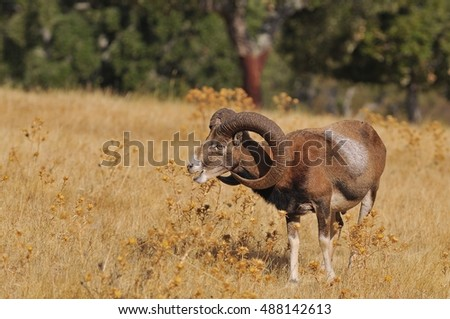 European mouflon in the field in autumn.