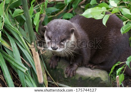European otter in the bushes, view from above