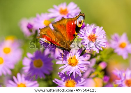 European peacock butterfly, inachis io, in purple wild flower meadow, on a sunny day