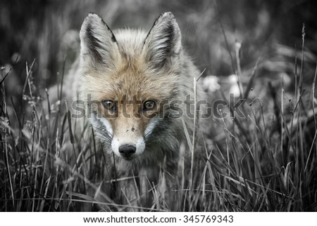 European red fox (vulpes-vulpes)