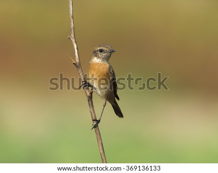 European stonechat bird in Bahrain
