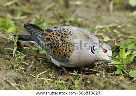 European Turtle dove in natural habitat / Streptopelia turtur