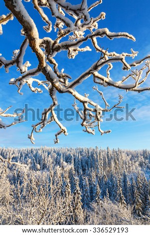 Evergreen forests in winter